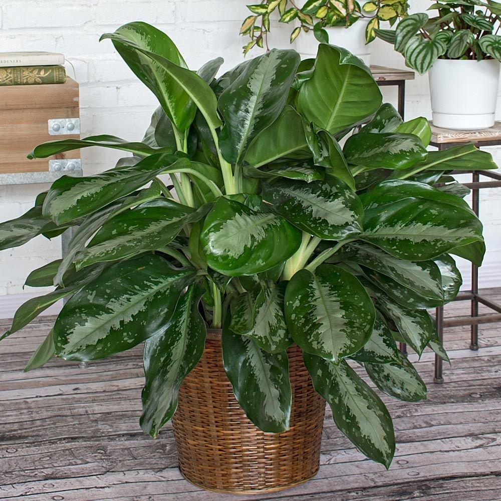 plante d'intérieur recommandée par nasa-9