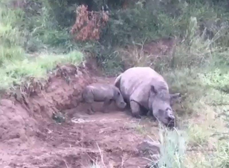 impactante video de una pequena rinoceronte amamantandose de su madre mutilada por cazadores furtivos rinoceronte charlotte - Impactante video de una pequeña rinoceronte amamantándose de su madre mutilada por cazadores furtivos