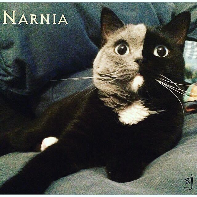 narnia7 - O gatinho mais lindo do mundo: conheça Narnia, um felino nascido com 'duas caras'