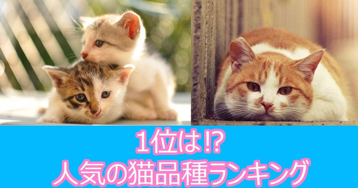 nekoshinsyu - 可愛い!日本で人気の猫品種ランキング