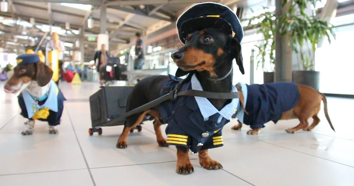 "petsonflight - Best ""Pet-In-The-Plane"" Moments, And It Ain't Just Dogs And Cats This Time!"