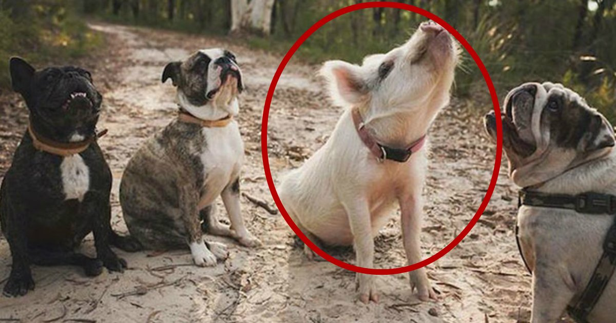 pigdog - A Unique Piggy That Turned To Puppy Like Behavior