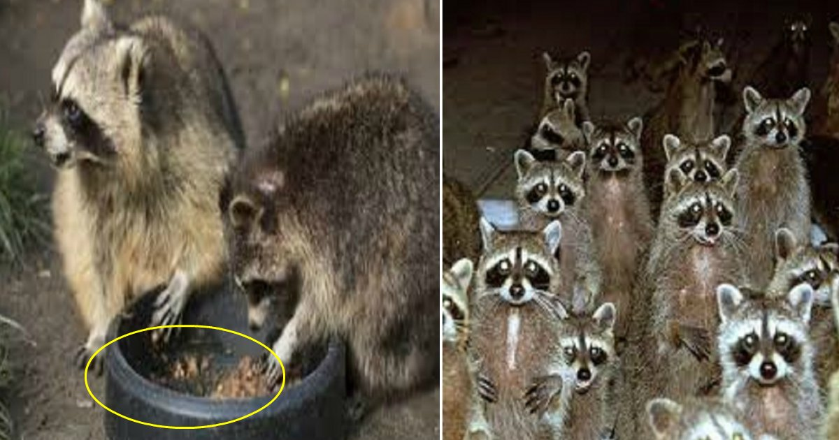 raccoons featured - Un homme décide de nourrir un raton laveur affamé, quelques temps plus tard il découvre une désagréable surprise à sa porte