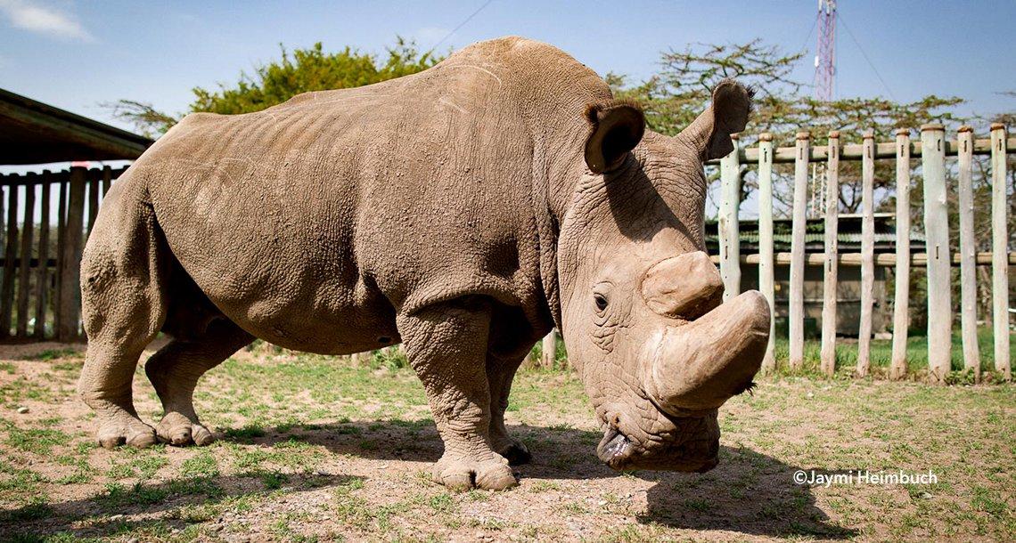 rinno - Murió Sudán, el último rinoceronte blanco macho que quedaba en el mundo