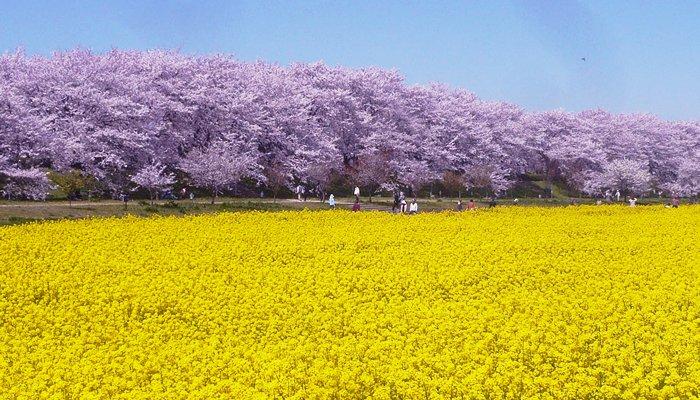 幸手桜まつり에 대한 이미지 검색결과