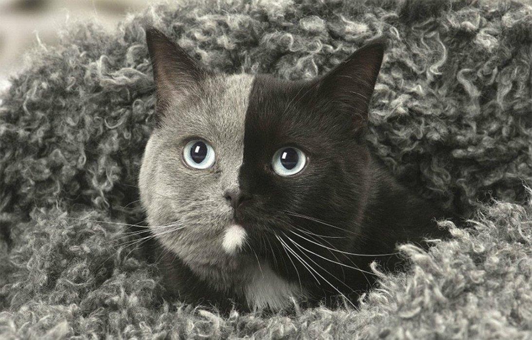 two-faced-cat-british-short-hair-france-jean-michel-labat-3-5a8e7d5fdf112__880