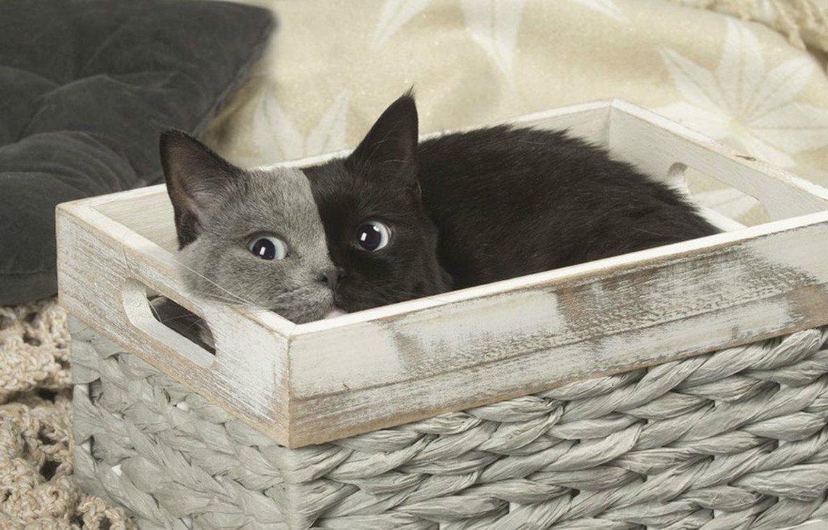 two-faced-cat-british-short-hair-france-jean-michel-labat-4-5a8e7d618905a__880