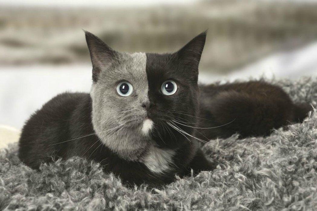 two-faced-cat-british-short-hair-france-jean-michel-labat-5-5a8e7d6355847__880