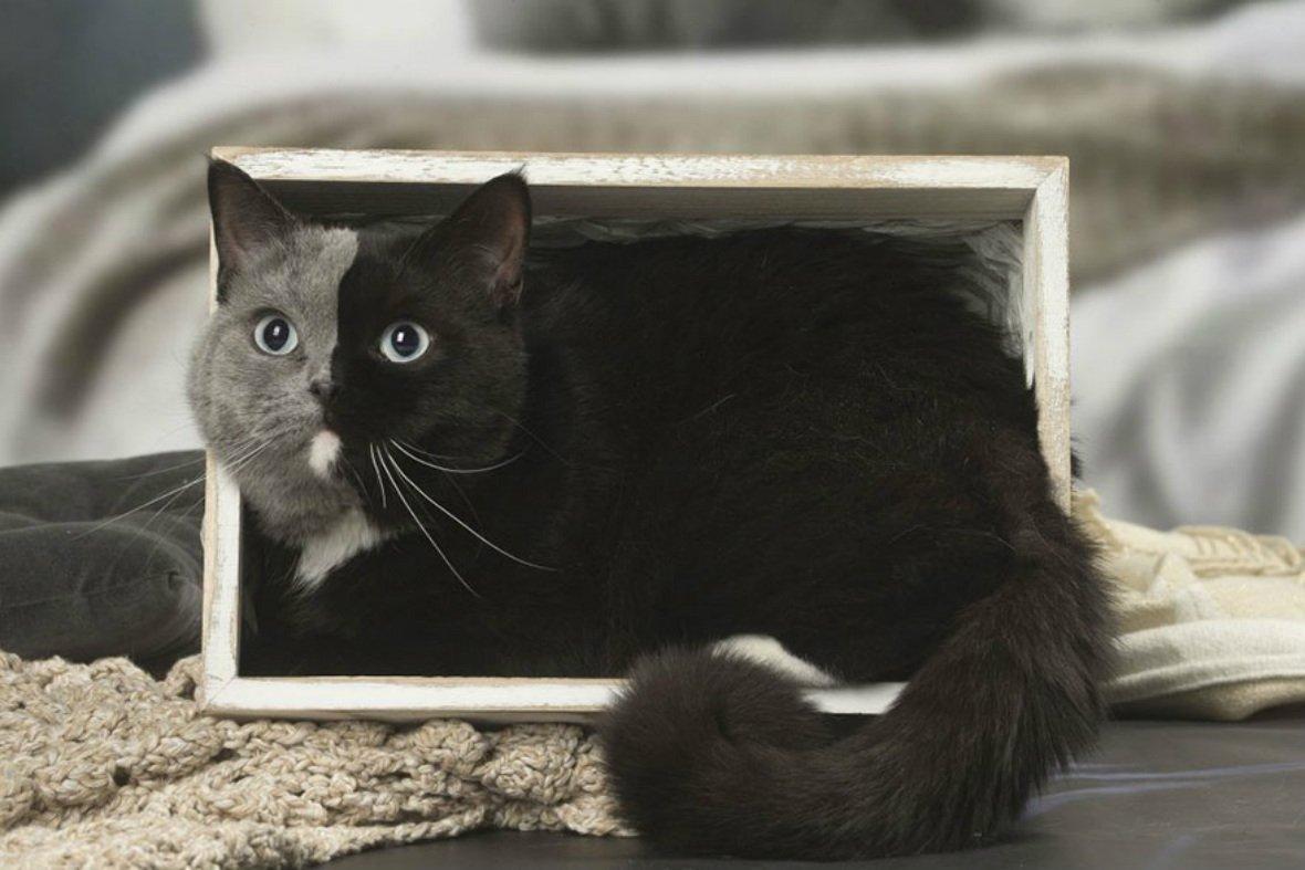 two-faced-cat-british-short-hair-france-jean-michel-labat-8-5a8e7d6953ea8__880