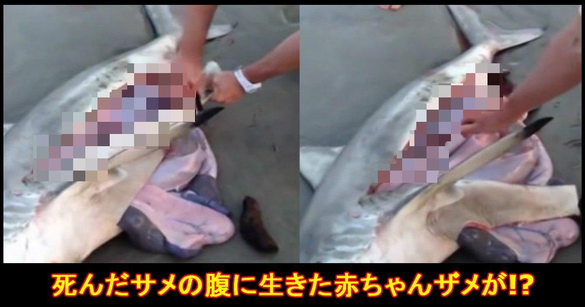unnamed file 31 - 死んだサメが妊娠してる?→腹開くと生きた赤ちゃんサメが!