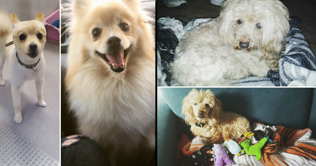untitled 1 12 - Check out these 12+ Before And After Photos Of Dogs That Will Surely Make Your Day