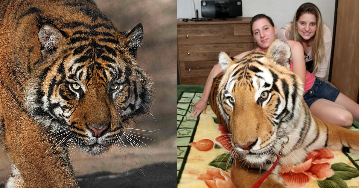 1ec8db8eb84ac 4 - Family in Brazil Lives with Seven Tigers in Their Home