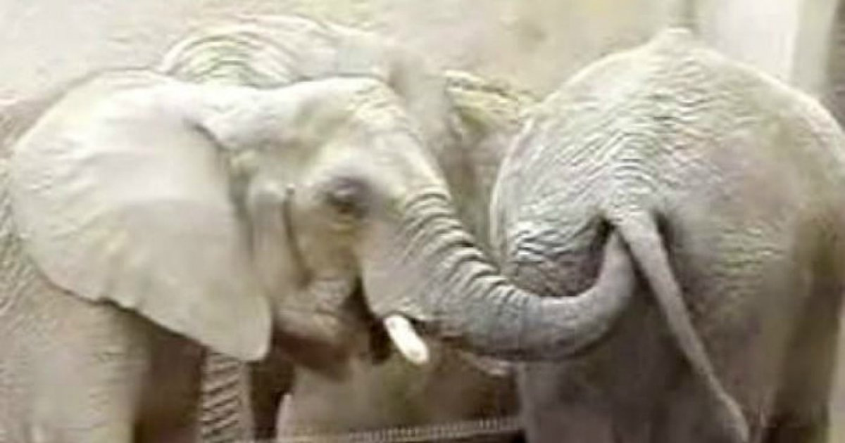 2 296.jpg?resize=412,275 - The Reason Why Elephants Poke Each Other's Anus With Their Trunks