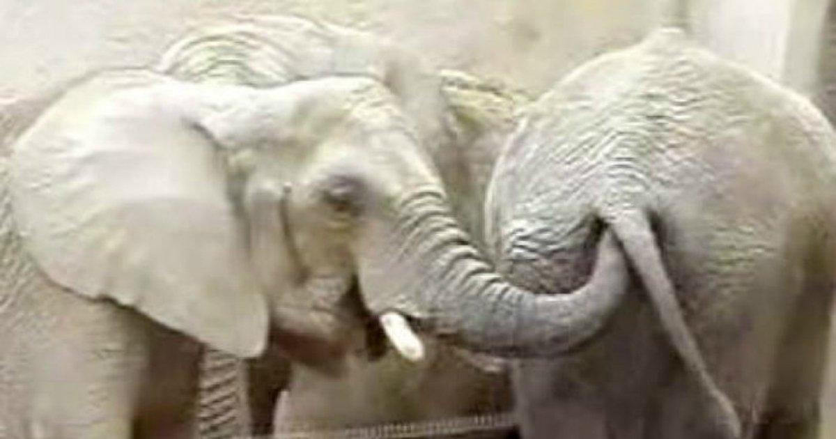 2 296.jpg?resize=648,365 - A razão pela qual os elefantes cutucam o fiofó do outro com a tromba...