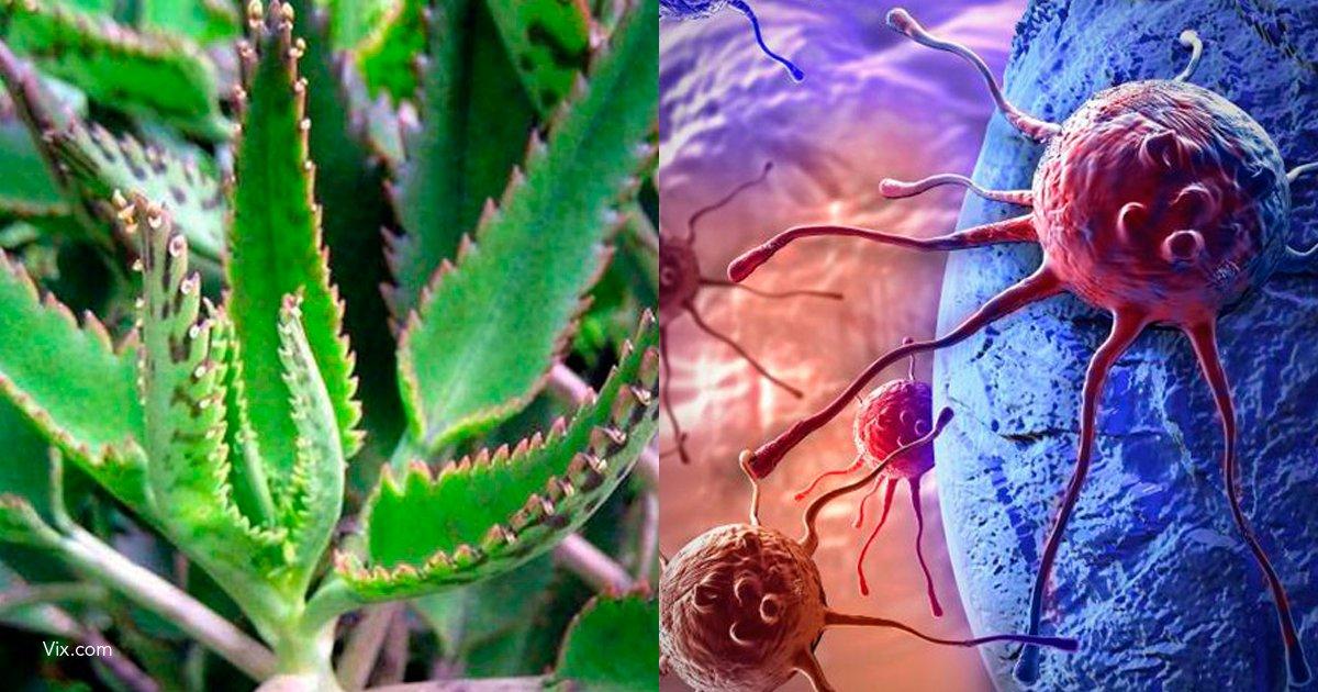 3 tm.png?resize=1200,630 - Kalanchoe, la planta con múltiples beneficios que previene el cáncer