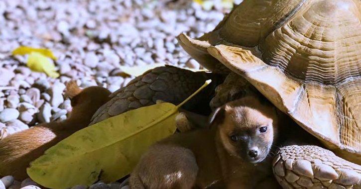 31 5.jpg?resize=1200,630 - Tartaruga de 40 kgs e três cachorros são adotados e viram família!