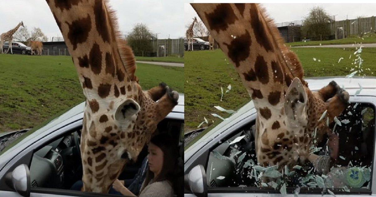 3333 4 - 깜짝 놀라 창문 올린 관광객 때문에 얼굴에 '유리 파편' 뒤집어 쓴 기린 (영상)