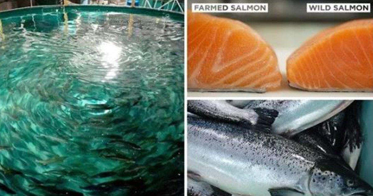 les raisons pour lesquelles vous devriez viter de manger du saumon d 39 levage tout prix vonjour. Black Bedroom Furniture Sets. Home Design Ideas
