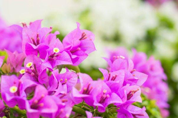 花言葉 ブーゲンビリア에 대한 이미지 검색결과