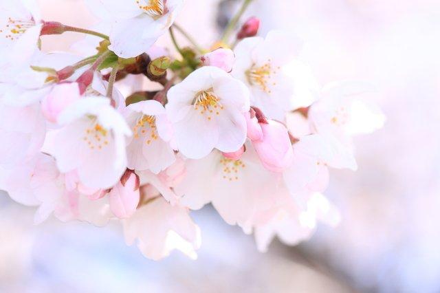 花言葉 桜에 대한 이미지 검색결과