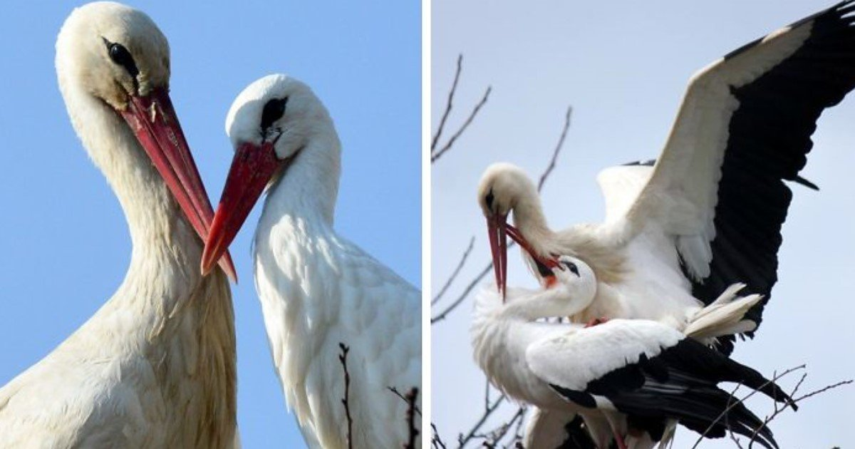 aaaa 9 - This Stork Has Been Flying Thousands Of Miles Each Year To Meet His Injured Soulmate