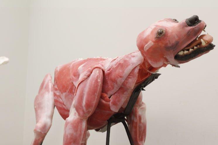Corpo canino sintético facilita compreensão do sistema anatômico do animal