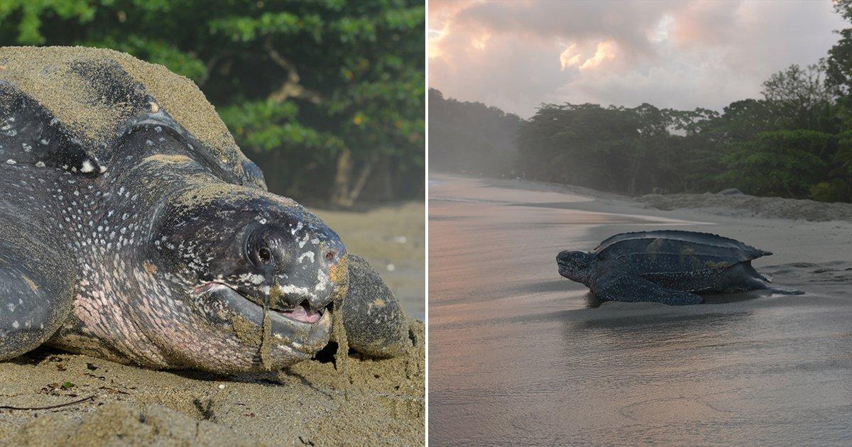 cover22tor - Una gigante tortuga es captada regresando al océano