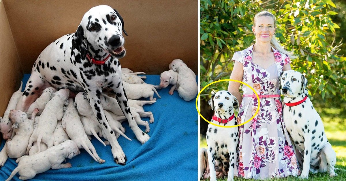 dogs 1 - Pregnant Dalmatian Sets A Record Number Of Births In Australia
