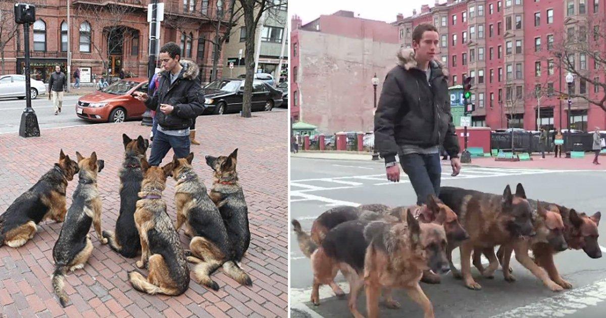 dogs.jpg?resize=412,232 - Un homme promène un groupe de bergers allemands sans laisse dans la ville