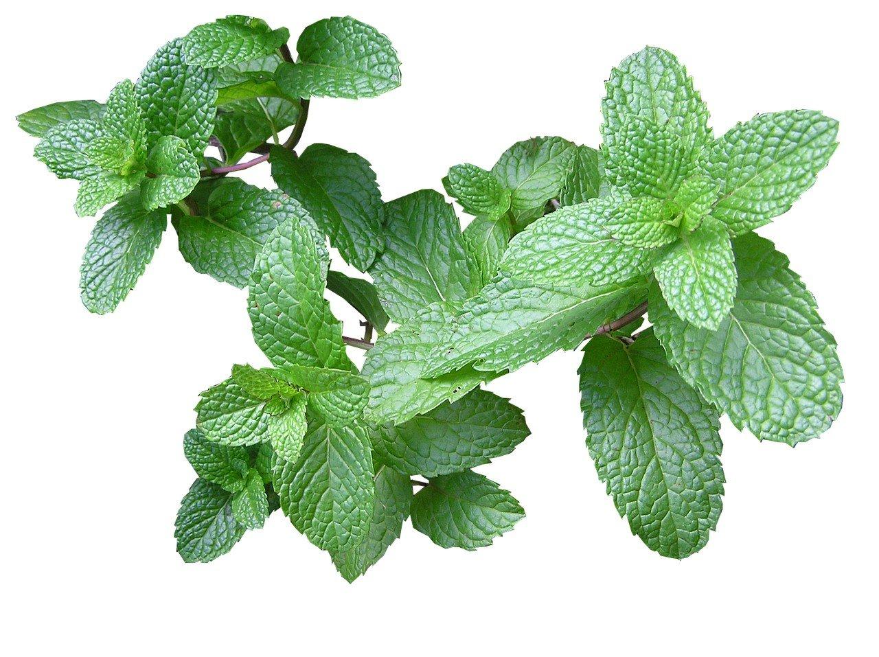herb-2540568_1280