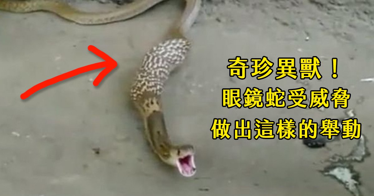 e69caae591bde5908d 1 5.png?resize=1200,630 - 嚇到吐蛋蛋!野生眼鏡蛇受到獵人威脅,竟然做出這樣舉動(影)