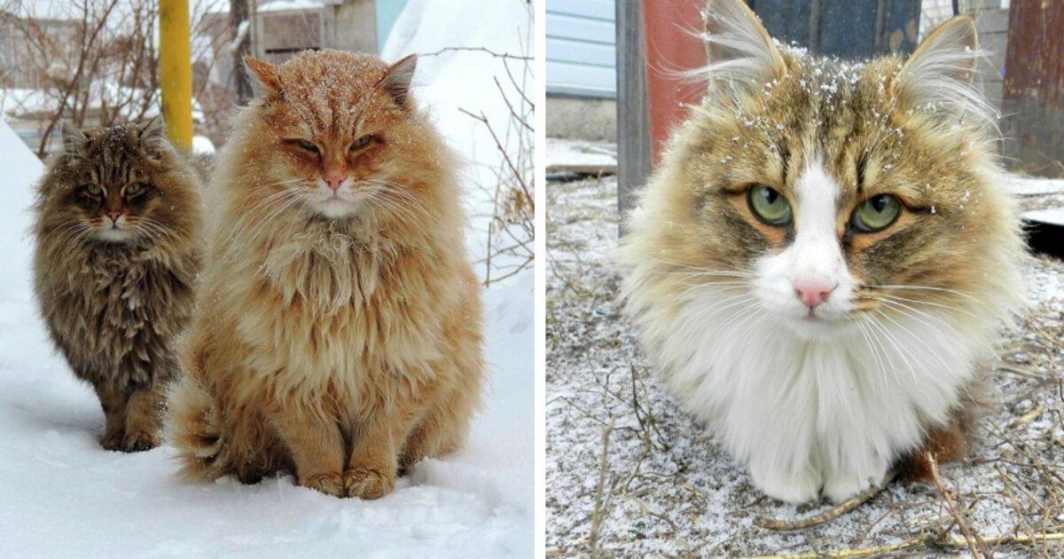 gatos siberianos ocupam quinta mostram quao majestosos sao - Fazenda siberiana de gatos ultra peludos é a coisa mais fofa que você verá hoje!