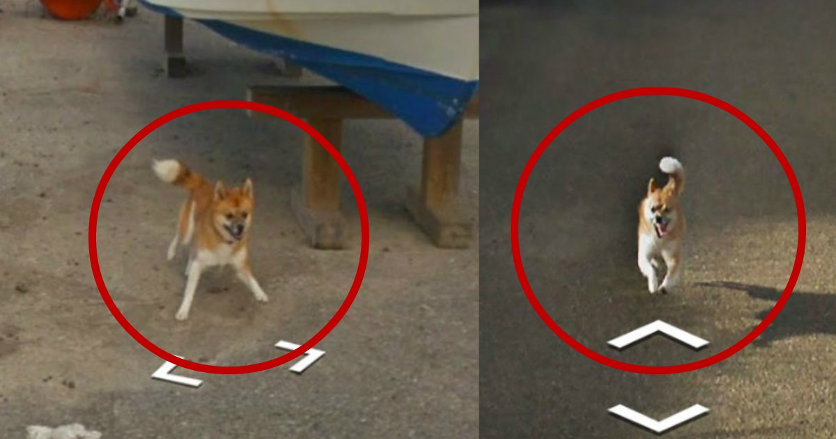 google maps dog - Dog Chases Google Street View Car And Hilariously Photobombs Its Picture Taking Attempts