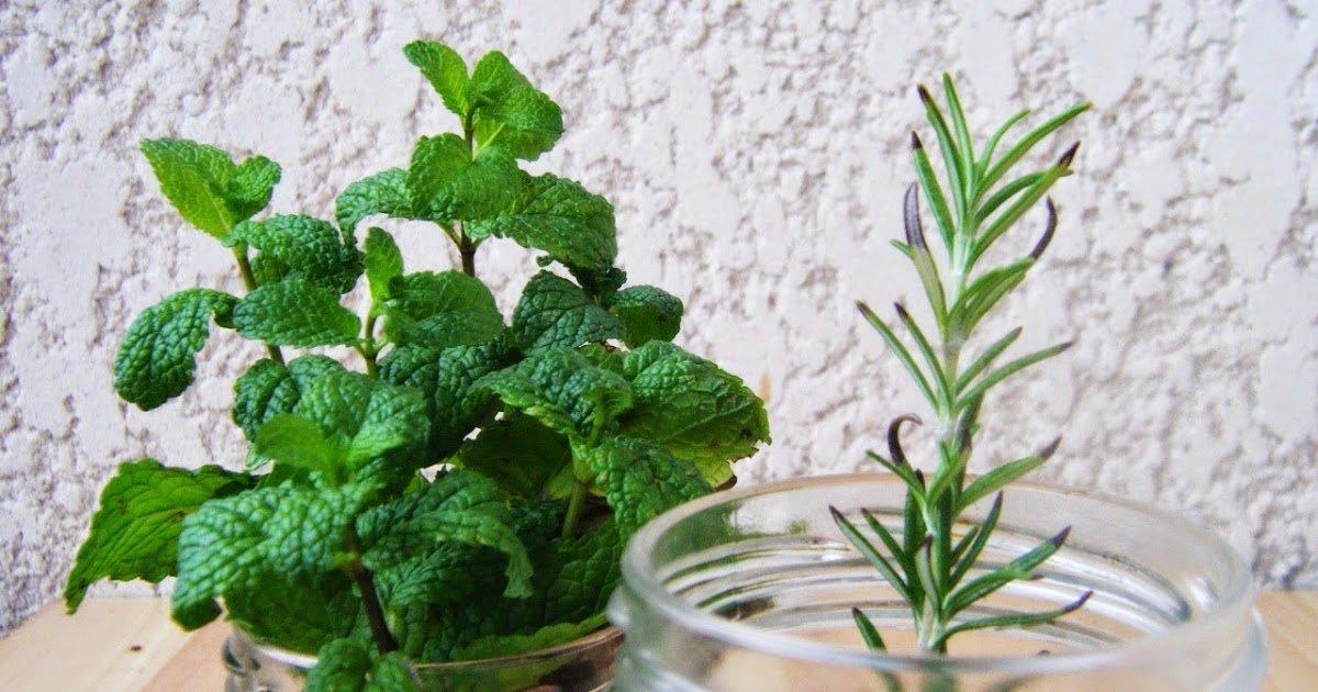 hortela vs alecrim 01 - Duas ervas que ajudam a sua memória!