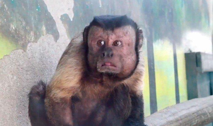 img 5ace999e5cedd.png?resize=648,365 - 這隻猴子有著超激似人類五官,網友一看:「好像焦慮老頭子!」