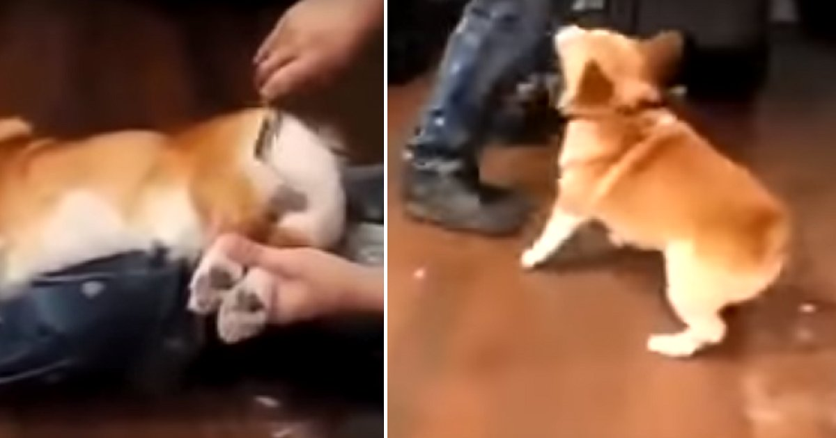 img 5ae039c6ab1e4.png?resize=412,232 - Corgi Gets Furious As Owner Trims His Bum While He Is Asleep