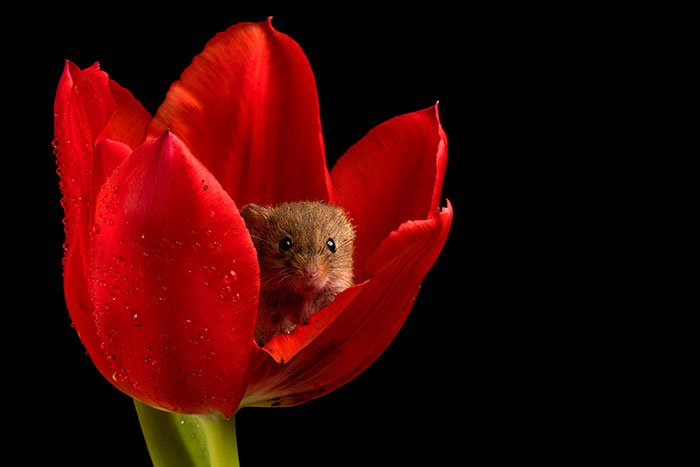 mice-and-tulips-2