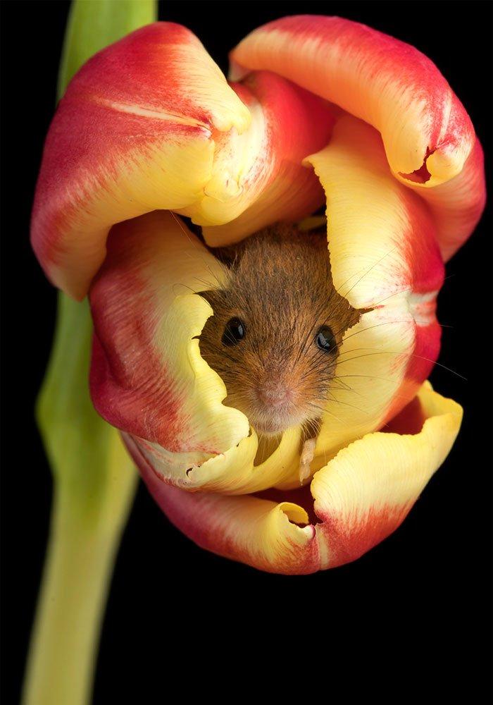 souris et tulipes-3