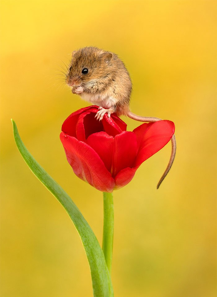 mice-and-tulips-6
