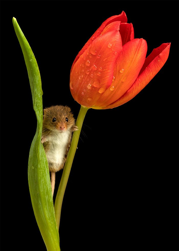 souris et tulipes-7