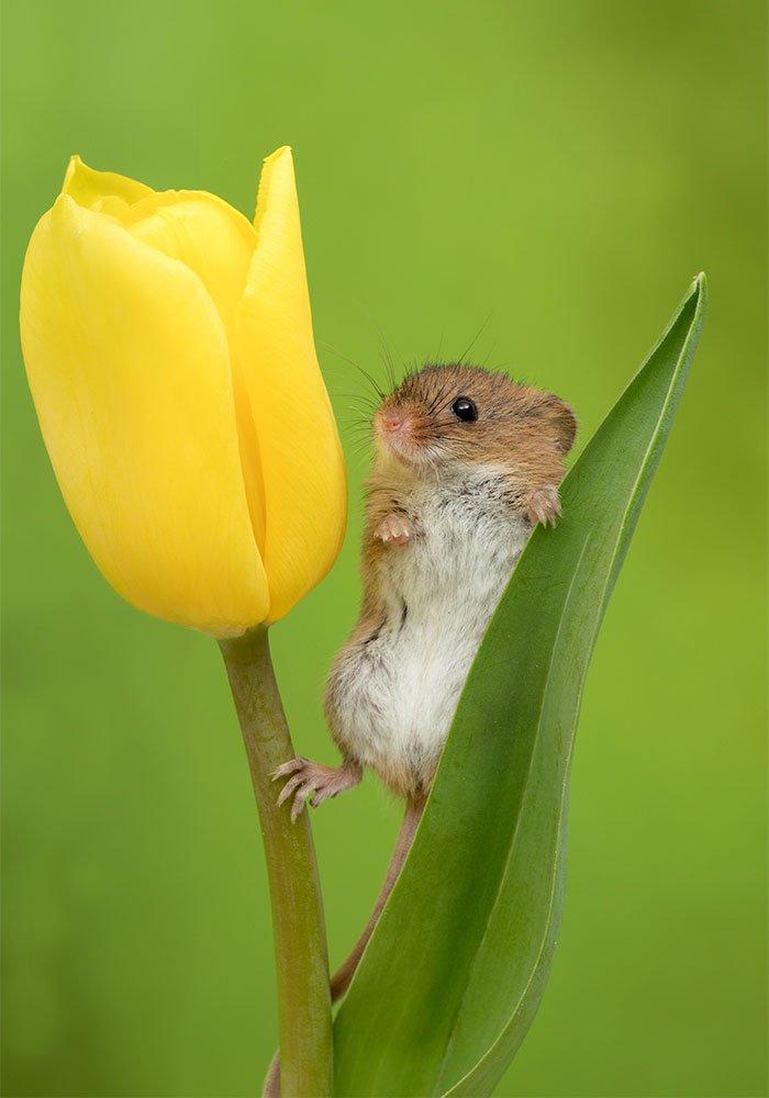 souris-et-tulipes-8