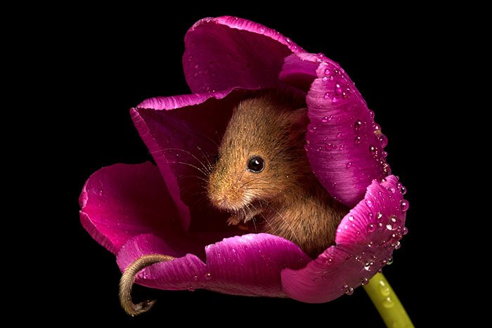 mice-and-tulips-9