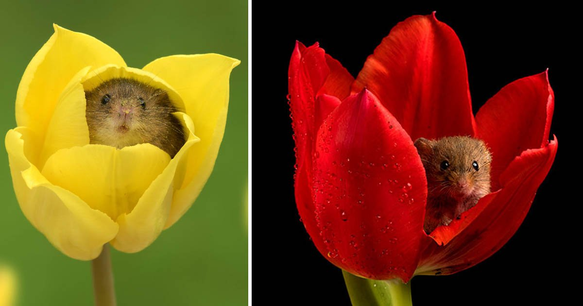 mice - Photographer Beautifully Captures the Harvest Mice Among the Tulips
