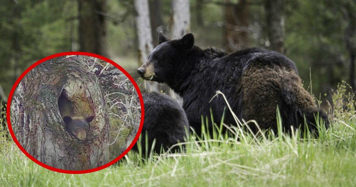 montana bear - Sleepy Montana Bear Refuses To Abandon Its Tree Hollow For Weeks
