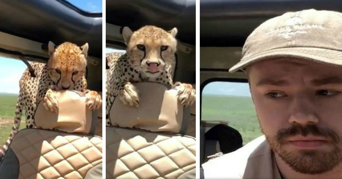 qwereqwewq.jpg?resize=300,169 - Hungry Wild Cheetah Looks For Food Inside Man's Car
