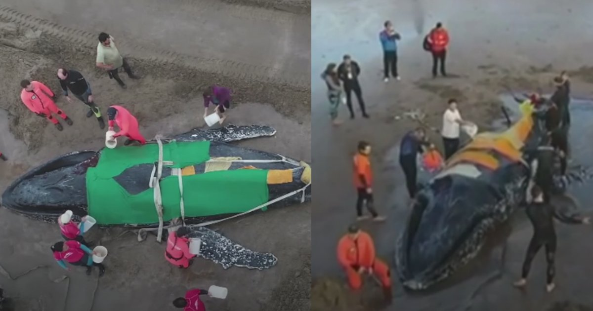 rescue whale - This Community Comes Together To Save Stranded Whale