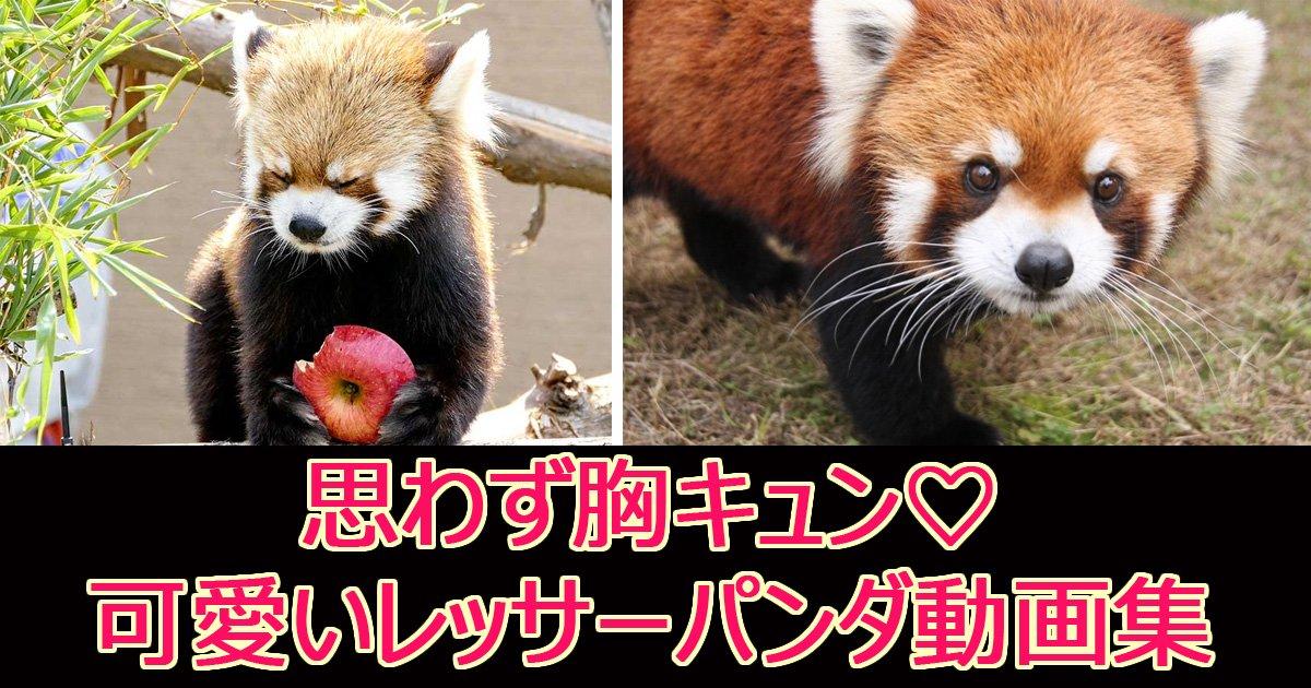 ressapandadouga.jpg?resize=1200,630 - 【胸キュン注意】可愛すぎ!レッサーパンダの可愛い動画集