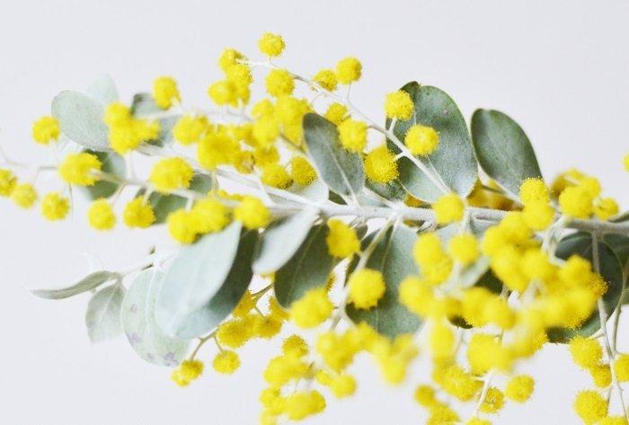 ミモザ 花言葉에 대한 이미지 검색결과