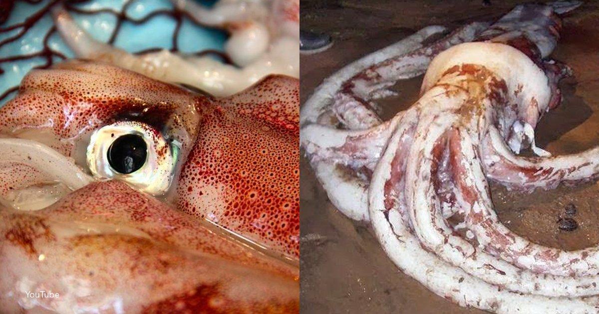 template cover - Encuentran a un calamar gigante de más de 2 metros de largo en una isla filipina
