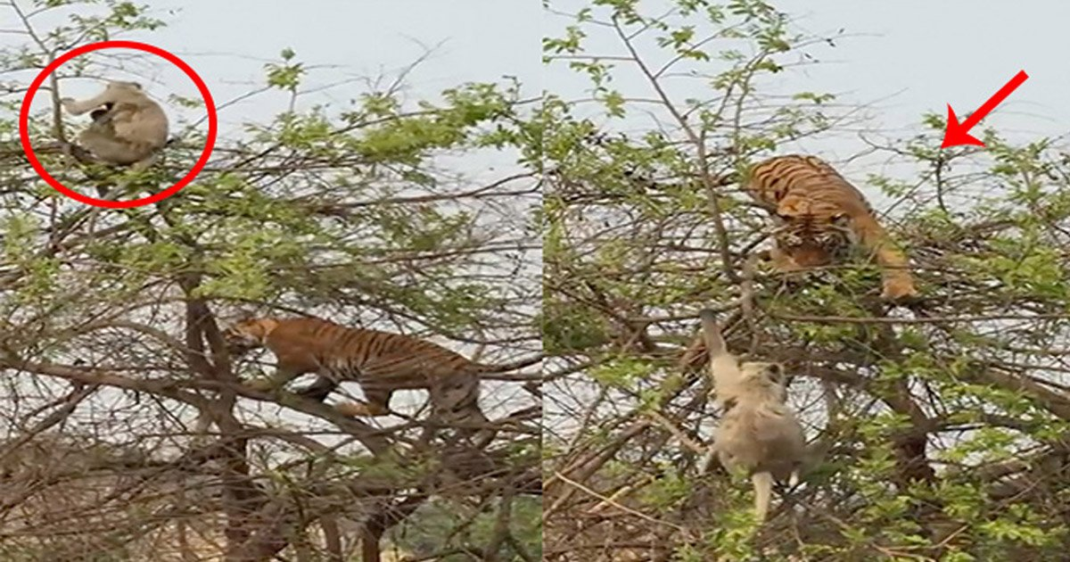 tiger - Hungry Tiger Outsmarted By Monkey As It Corners Monkey To The Top Of A Tree